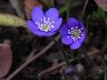 Forårstejn blå annemone